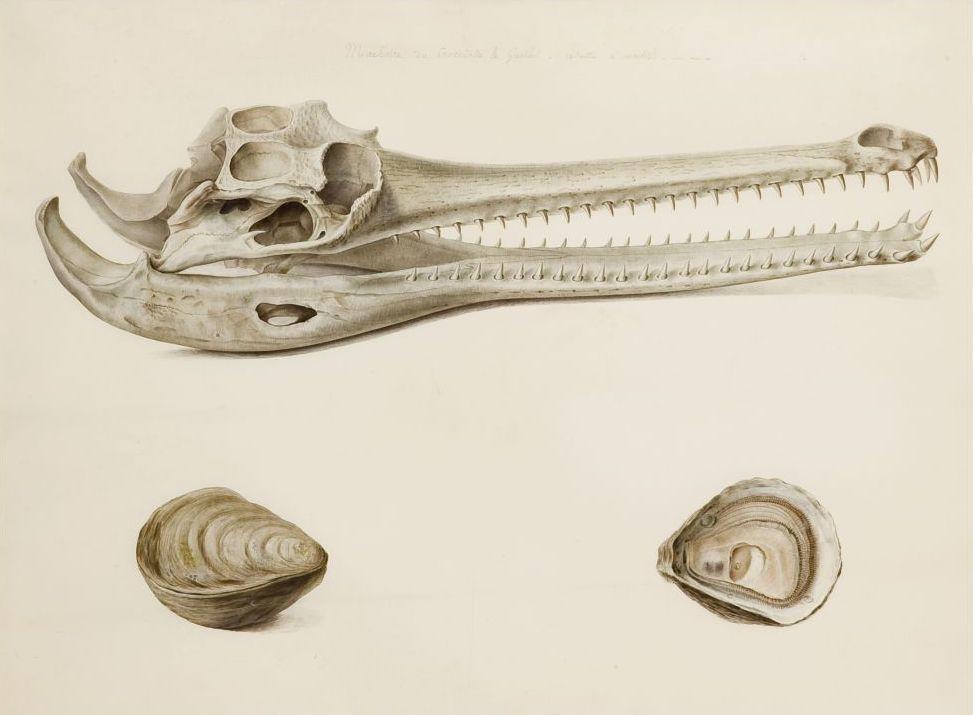 Estudi de mandíbula de gavial i estudis d'ostres, Pancrace Bessa