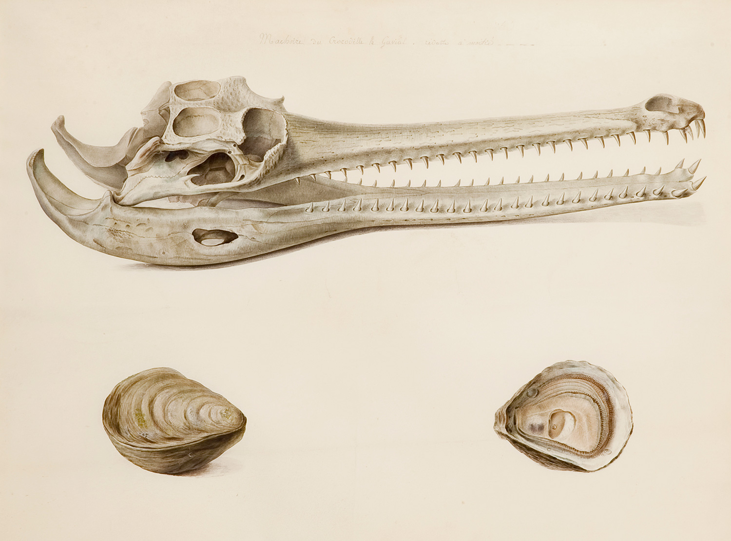 Study of Gharial Jawbone and Studies of Oysters, Pancrace Bessa